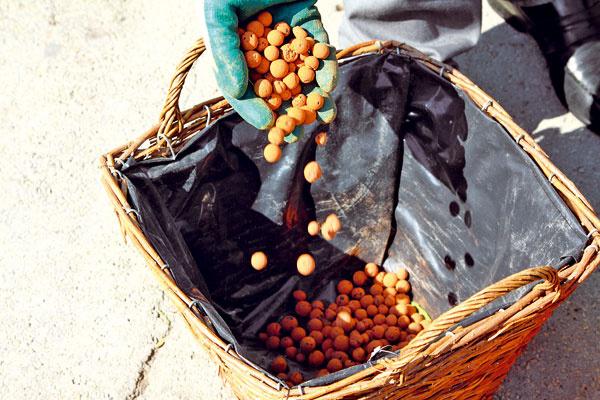 Na dno košíka vystlaného fóliou (na dne perforovanou) dajte drenážnu vrstvu z keramzitu (aspoň 5 cm). Na ňu nasypte do polovice košíka záhradnícky substrát zmiešaný s čistou rašelinou.