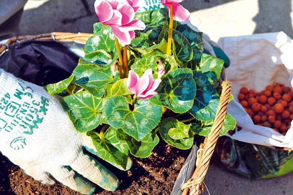 Ako prvý vysaďte cyklámen – má pomerne krehké listy aj kvety, ktoré by sa pri vysádzaní medzi ostatné rastliny mohli poškodiť. Tým by utrpela estetická stránka dekorácie.