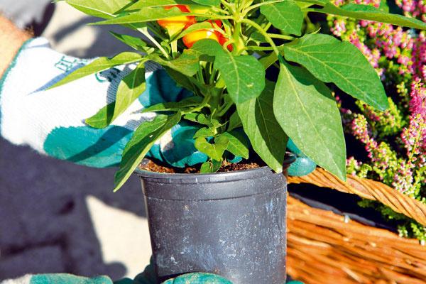 Krátkodobou spoločníčkou vysadených rastlín môže byť okrasná minipaprička, ktorá rozžiari košík svojimi plodmi. Výhodou je, že aj tejto rastline vyhovuje mierne kyslý substrát.