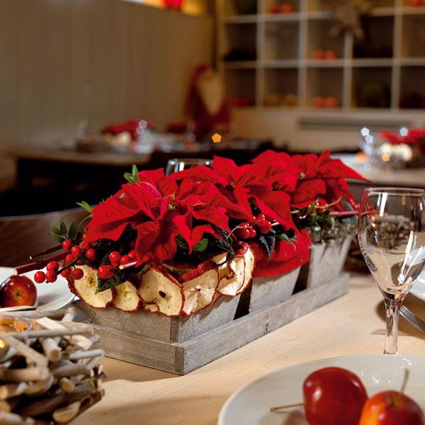 Na dekorovanie stola sú obzvlášť vhodné poinsettie vnežnom miniformáte – veľmi efektné sú aranžmány zniekoľkých rovnakých rastlín stojacich vedľa seba. Vtomto prípade sme na dekoráciu zimného stola zvolili atraktívne trio červených minipoinsettií aobaly na kvetináče sme ozdobili typickými zimnými prvkami.