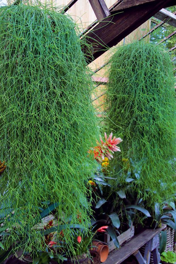 Tip do zimnej záhrady:  Zelené vodopády  Mnohí milovníci kvetín sa počas zimy realizujú vzimnej záhrade. Na atraktívnosti jej pridajú vzrastenejšie druhy zelene, kvitnúce rastliny arastliny vytvárajúce bohato olistené previsy, napríklad nenáročný potosovec, filodendron, brečtan alebo ripsalis (na obrázku). Jeho výhony môžu byť dlhé až 1,8 m. Ripsalis je nenáročný – potrebuje teplo, nepriame svetlo azálievku raz týždenne. Lepšie znáša sucho ako premokrenie. Pri pravidelnom prihnojovaní rastlina výrazne zmohutnie. Vspletí svetlozelených stoniek sa zvyčajne na jar objavia aj drobné kvietky.