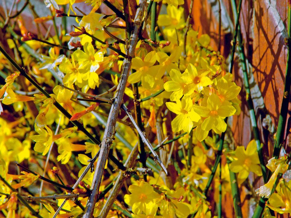 Rastlina mesiaca: Jazmín nahokvetý  Napriek chladu asnehu rozkvitá aj vzime niekoľko pekných krov. Jedným znich je jazmín nahokvetý (Jasminum nudiflorum). Vyniká množstvom svietivo žltých drobnejších avonných kvetov. Ide odlhovekú drevinu. Ker sa najlepšie pestuje na vyvýšenom mieste – počas kvitnutia totiž vytvára nádherný zakvitnutý vodopád. Potrebuje slnečné stanovište, platí: čím viac slnka, tým viac kvetov. Pôda by nikdy nemala úplne vyschnúť, no ani premokrenie nie je vhodné. Rastlinu môžete pestovať aj vo väčšej vegetačnej nádobe. Ak hľadáte niečo, čím si spestríte balkón, vtomto období ju kúpite zakvitnutú.