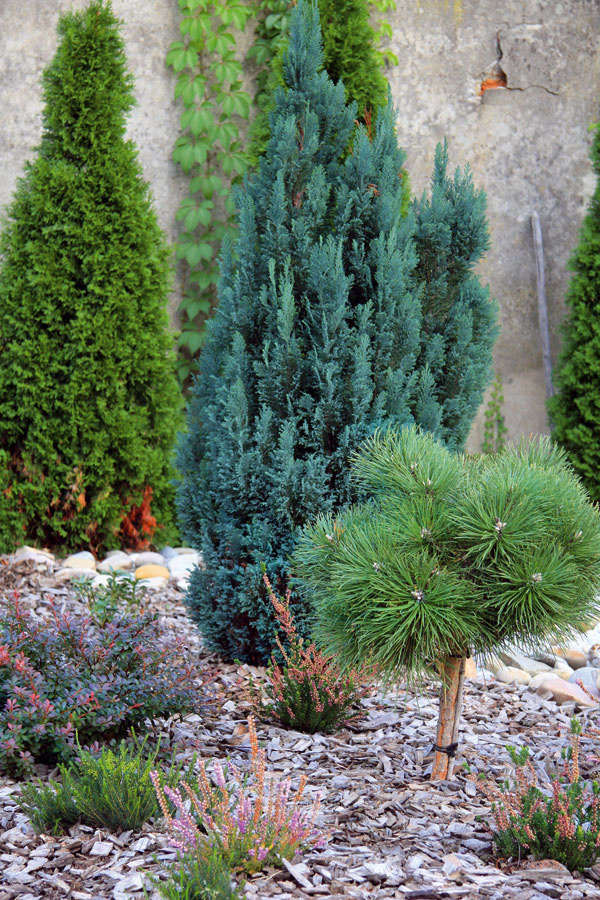 Tip do átria: Borovice na kmienku  Trendom sa stalo pestovanie borovíc skorunou na kmienku. Tieto ihličnany sú prekrásnou ozdobou predzáhradiek, vresovísk aj záhrad vjaponskom štýle. Sú síce drahšie, ale ozvláštnia aj veľmi malý priestor. Vysádzajte ich skoreňovým balom na jar alebo skoro na jeseň. Výhodou je, že pod ne možno vysadiť nižšie dreviny, vresovce či okrasné trávy. Počas tuhšej zimy treba korunky obaliť netkanou textíliou, najmä ak ide onovovysadené stromčeky – ochráni ich pred mrazom auhynutím. Keď nemrzne, môžete ich zaliať. Na balkón sa hodia zakrpatené kultivary borovíc, cypruštekov, jedlí, tují aborievok. Aj im doprajte zálievku počas dní bez mrazov.
