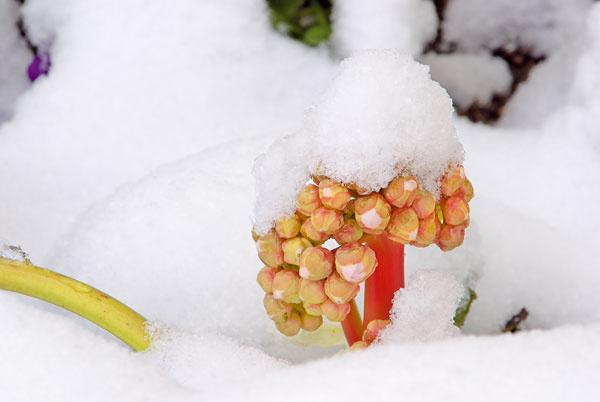 Tip do záhrady:  Červenolisté bergénie  Zimné záhrady sú väčšinou pochmúrne. Nemusí to tak však byť, ak si do záhrady na budúci rok vysadíte napríklad červenolisté bergénie (Bergenia purpurascens), ktoré sa vplyvom chladu amrazu krásne vyfarbujú. Koncom zimy zkožovitých listov začnú vykúkať ružovkasté súkvetia. Toto spojenie je skutočne nádherné. Bergénie sa vyplatí vysadiť do blízkosti ihličnanov aostatných vzime atraktívnych (napríklad kvitnúcich) drevín – vytvárajú farebné kontrasty. Rozmnožujú sa na jar delením trsov. Dobre sa pestujú aj vnádobe na balkóne.