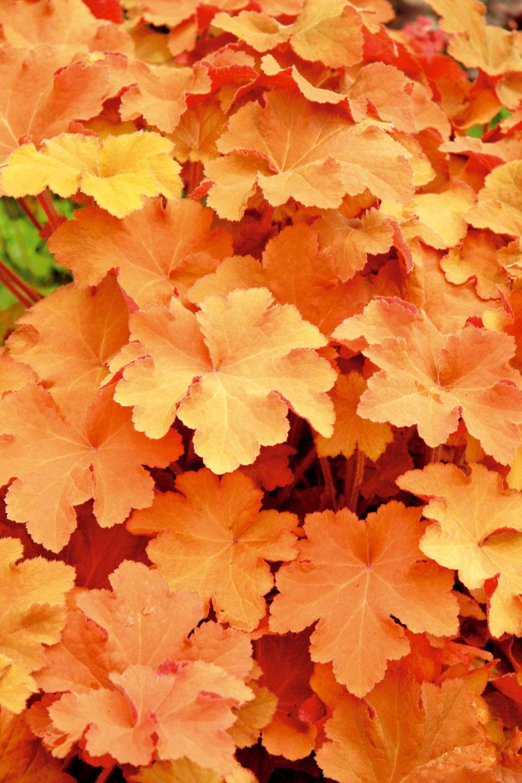 Oranžové listy Čistá zelená už dávno nemá vzáhradnej tvorbe prvenstvo. Aj keď je aktuálne moderná žltozelená farba, listy môžu byť sfarbené rôzne, atak môžu súperiť skvetmi. Do záhona zakomponujte napríklad heuchery (na obrázku). Vyberte si bordové, striebristé, žlté či červené listy. Rozhodne sa to vyplatí. Vyskúšajte azistíte prečo…