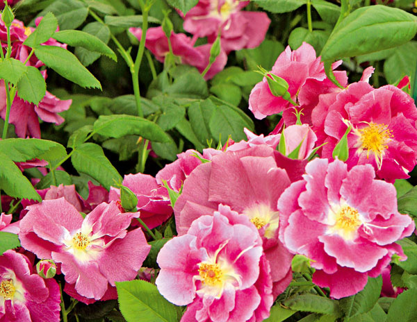 Pôdopokryvné ruže  Vysaďte ich vsprávnom spone  apomerne rýchlo vytvoria súvislý koberec, ktorý bude kvitnúť každý rok. Výhodou je, že ani burina nedostane šancu. Navyše, hustá výsadba pomôže zadržať vlahu vpôde.