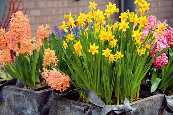 TIP na balkón: Farebná záplava vpredjarí Koncom februára už myslite aj na výsadbu okenných abalkónových debničiek. Zaobstarajte si predpestované jarné kvety (prvosienky, sedmokrásky asirôtky), ktoré môžete doplniť rýchlenými cibuľovinami (hyacintmi, tulipánmi, kosatčekmi, krokusmi aďalšími). Vhodné prostredie rastlinám poskytnú terakotové nádoby, prútené košíky vystlané fóliou či pozinkované nádoby. Vysádzajte ich do výživného apriepustného substrátu, ktorý neustále udržiavajte mierne vlhký. Priebežne odstraňujte aj odkvitnuté kvety.