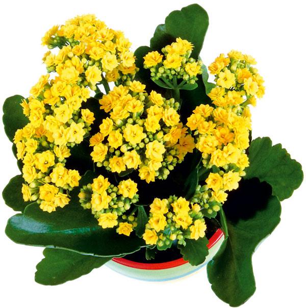 Obývačková krásavica: kalanchoe  Rastlina vhodná do suchých asvetlých bytov. Nenáročná – netreba ju často zalievať. Prihnojovanie nie je potrebné – ide okrátkovekú rastlinu. Čo je však dôležité, pravidelne odstraňujte odkvitnuté kvety.