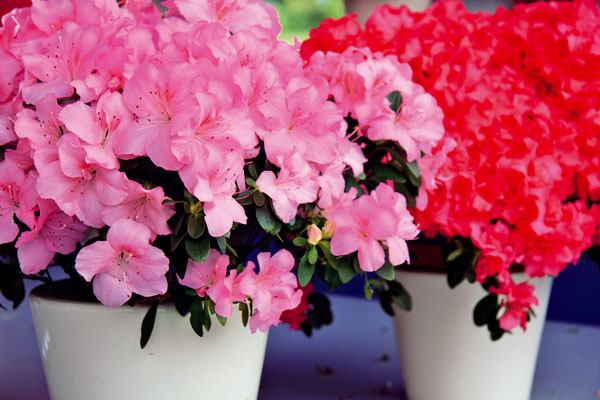Azalka je ideálna rastlina do spálne – znesie chlad aj menej svetla ačistí vzduch.
