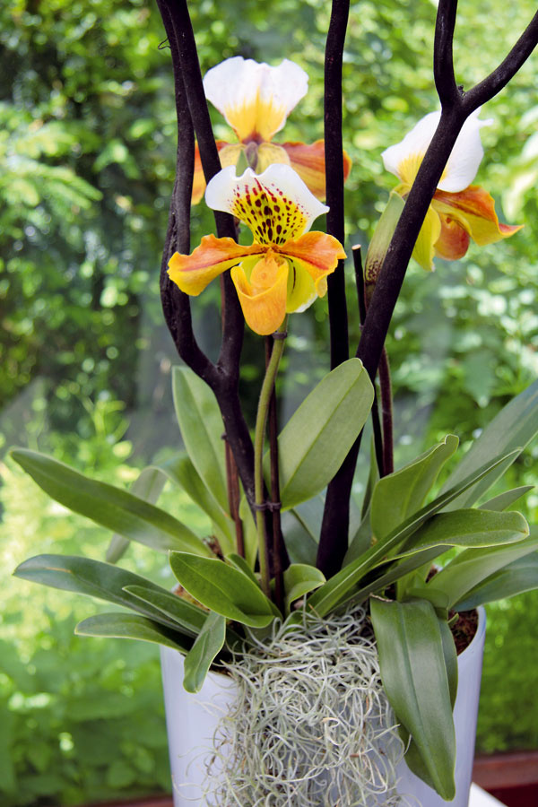 Kvety spuncom luxusu  Ak ste milovníkmi orchideí (lišajovce, cymbídie), využite ich aj pri zútulňovaní bytu. Kvitnú aj počas zimy ado interiéru vnesú patričnú dávku noblesy. Ak sa vám zunovala klasika, posnažte sa túto zimu doplniť svoju zbierku aj oďalšie zaujímavé druhy, napríklad črievičkovce. Ide oatraktívny apomerne nenáročný druh, ktorý exkluzívne pôsobí napríklad vbytoch so starožitným nábytkom.