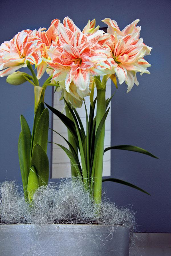 Dominantná zornica  Zornica (Hippeastrum) môže byť výborným prostriedkom na zahnanie zimných depresií. Kvety tejto dlhovekej cibuľoviny sú skutočne nádherné, biele, ružové alebo najčastejšie červené, niektoré pekne pruhované. Rastlina si vyžaduje teplo, svetlo avdobe kvitnutia intenzívnejšiu zálievku. Najkrajšie sú na okenných parapetoch vmenších skupinkách aatraktívnych obalových nádobách.