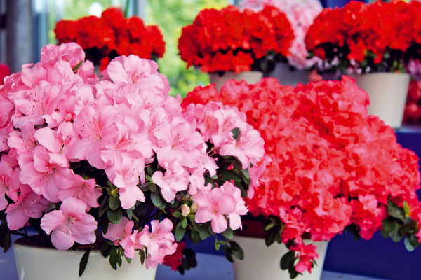 Kvety do spálne  Knajkrajším vzime kvitnúcim izbovým rastlinám patria azalky (Rhododendron simsii). Kvitnú množstvom kvetov príjemných farieb, pričom počas kvitnutia listy tejto minidreviny často ani nevidieť. Azalkám sa bude dariť vmodernom aj pôvodnom byte, na svetle askôr vchladnejšej miestnosti. Netreba zabúdať, že substrát, vktorom rastú, musí byť stále mierne vlhký. Vďačné budú aj za vyššiu vzdušnú vlhkosť. Výhodou azaliek je ich kompaktnosť anevysoká cena.