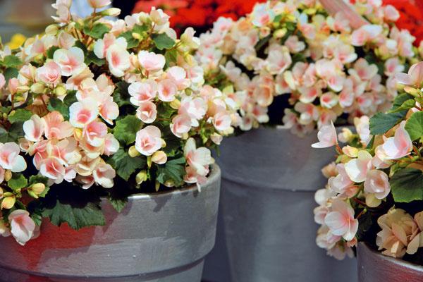 Nežné hlávky begónií  Begónie (Begonia elatior) vminulosti patrili kveľmi obľúbeným izbovým rastlinám. Záujem one sa však začína vracať. Ich kvety sú naozaj nádherné, rovnako aj pohľad na celé kvitnúce trsy. Táto rastlina vyžaduje stále vlhký substrát, svetlé ateplé miesto. Množstvo kvetov závisí aj od toho, či bude pravidelne prihnojovaná. Rastlina vynikne najmä vpeknom črepníku.