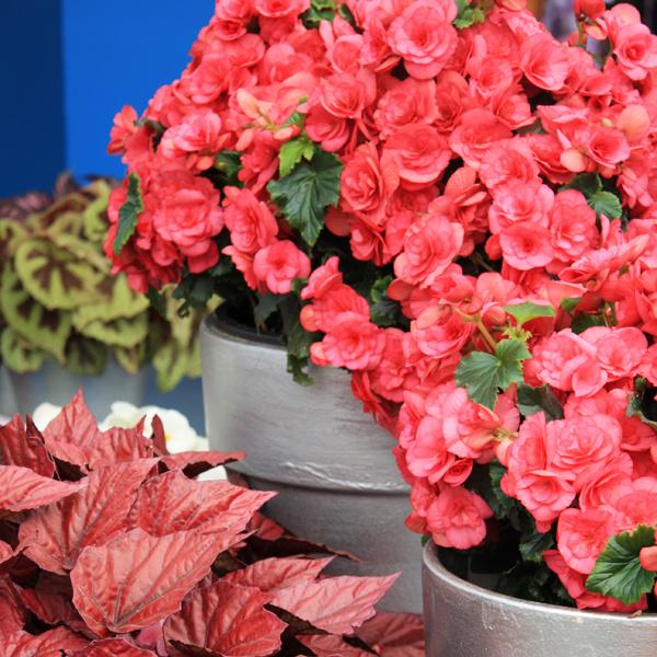 Kvitnúce rastliny. Interiér môžu na jar spestriť aj rôzne kvitnúce izbové rastliny, napríklad azalky, zornice, hortenzie, starčeky alebo cyklámeny. Mali by byť umiestnené na svetlom, nie však slnečnom mieste, ideálna je skôr chladnejšia miestnosť. Nevyhnutný je pravidelný prísun vlahy atiež vyššia vzdušná vlhkosť, ktorú môžete docieliť postrekovaním vlažnou vodou. Dobré je rastliny aj prihnojovať, vnijakom prípade sa však vkvitnúcom stave nesmú presádzať. Podobné pestovateľské podmienky majú aj rýchlené kvitnúce cibuľoviny.