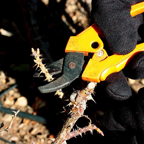 Prvé ošetrenie ruží. Z ružíodstráňte všetky suché, choré a zimoupoškodené výhonky. Režte ich šikmo, asi 30 cm nad zemou apribližne 5mm nad púčikom smerujúcim zkra von (dovnútra rastúce výhonky treba odstrániť vpredjarí). Začať môžete aj sich výsadbou. Ruže bez koreňového balu sa dajú sadiť do polovice apríla, s koreňovým balom do neskorej jesene. Základom je príprava výsadbovej jamy, do ktorej pridajte preosiaty kompost alebo dlho pôsobiace hnojivo. Vysádzajte tak, aby miesto očkovania bolo približne 5 cm pod povrchom pôdy. Po výsadbe ich pravidelne zavlažujte.