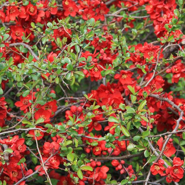 Neúnavný dulovec. Na neolistených konárikoch rozkvitá dulovec (Chaenomeles japonica), ktorý prekvapuje záplavou ružových alebo tehlovočervených, ojedinele bielych kvetov. Tie sa tvoria na bočných vetvičkách, ktoré vyrastajú zo starších konárikov. S rezom preto narábajte opatrne. Dulovec dobre rastie vakejkoľvek záhradnej pôde, doprajte mu však pravidelný prísun humusu. Najlepšie sa mu darí na slnečnom mieste, netrpí chorobami ani škodcami a je pomerne dlhoveký. Môže ale pichať. Zasaďte ho pred pozadie ztmavozelených drevín alebo použite ako živý plot.