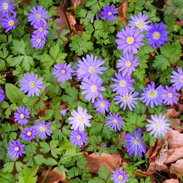 Kvetinové koberce. Pod kry, ktoré sú na jar neatraktívne, nasaďte drobné trvalky acibuľoviny – vytvoria nádherne kvitnúci porast apokryjú tak pôdu. Vhodná je veternica (Anemone blanda) sfialovomodrými, ružovými alebo bielymi kvetmi. Potrebuje polotieň, vlhkejšiu pôdu aintenzívnejší prísun vlahy, najmä počas kvitnutia. Vymedzte jej väčšiu plochu, pretože čím viac jej je, tým vyššia je jej estetická hodnota. Tam, kde porastie veternica, nie je dobré počas leta či na jeseň kopať, pretože by sa zničili hľúzky. Veternice sa totiž pod odkvitnutí strácajú apočas sezóny ich nevidieť.