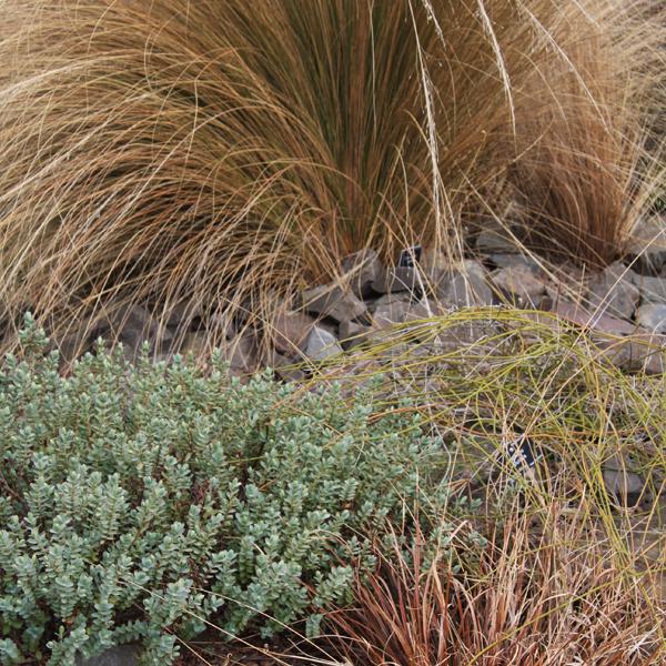 Rez okrasných tráv. Vmarci nezabudnite na rez okrasných tráv. Zožltnuté a suché steblá zrežte až úplne pri zemi, keďže nové steblá vyrastajú zpodzemných častí. Potrebujú dostatok svetla, takisto sa vyplatí pôdu vokolí trsov prekypriť, pridať granulované viaczložkové hnojivo azabezpečiť intenzívnejší prísun vlahy. Ak sú trsy staršie, možno ich vyryť, rozdeliť na niekoľko častí azasadiť na nové miesta. Suché steblá môžete skompostovať. Sodkrývaním zazimovaných kortadérií počkajte aspoň do konca mesiaca. Vtedy môžete zrezať aj chúlostivejšie druhy ostríc (Carex).