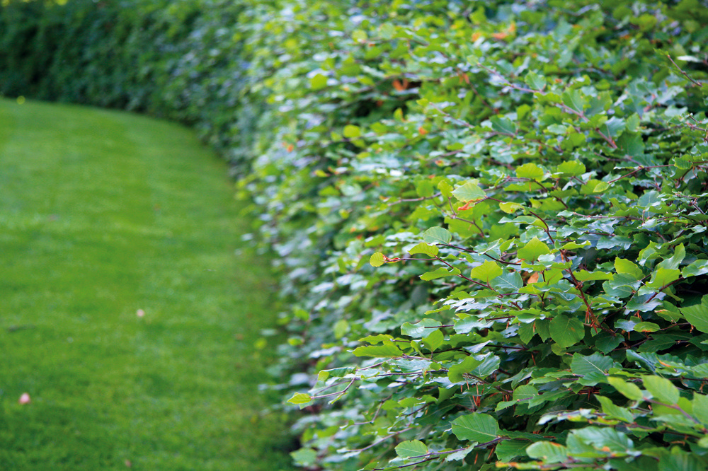 5. Živý plot ľavou zadnou Aj živý plot vytvoríte veľmi rýchlo. Podľa vašich predstáv to prvý rok po výsadbe zrejme ešte nebude, no opäť platí, že prihnojovanie avtomto prípade aj viackrát zopakovaný rez urobia divy. Živý plot rýchlo získate, ak na jeho založenie použijete rýchlorastúce listnáče (vtáčí zob, prípadne hrab). Vžiadnom prípade by to nemali byť ihličnany či vždyzelené druhy. Na pekne hustý plot by ste totiž čakali veľa rokov.