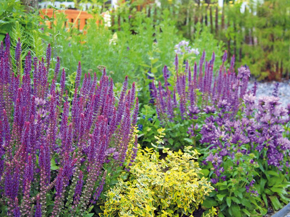 7. Kvetinové rýchlovky Ak chcete mať pri kvetinovom záhone istotu, že sa už prvý rok budete tešiť zkvetov, ktoré vňom rozkvitnú, nakúpte si na jar trvalky vkvitnúcom stave (počítajte svyššou cenou). Vždy kupujte aspoň tri kusy zjedného druhu avytvorte si tak menšie skupiny. Nezabudnite, že vyššie druhy patria dozadu anižšie dopredu. Kvitnúce trvalky doplňte okvitnúce ruže (vysaďte ich skoreňovým balom) aokrasné trávy, ktoré rýchlo rastú asú pestovateľsky absolútne nenáročné.