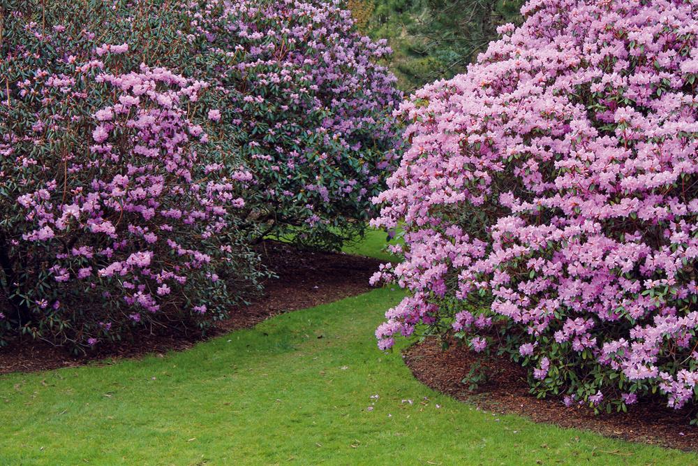 1. Dreviny už aj skvetmi Na veľké stromy či zakvitnuté kry nemusíte čakať roky. Vzáhradníctve si zožeňte niekoľkoročné pekne olistené alebo kvitnúce exempláre vyššieho vzrastu (rátajte však stým, že sú podstatne drahšie). Skoreňovým balom ich môžete vysádzať počas celého vegetačného obdobia. Smnožstvom takýchto drevín to najmä na menších pozemkoch nepreháňajte. Postačia dva či tri exempláre. Zvyšok doplňte rýchlo rastúcimi krami kvitnúcimi na jar alebo vlete (zlatovka, kéria, budleja alebo tavoľník).