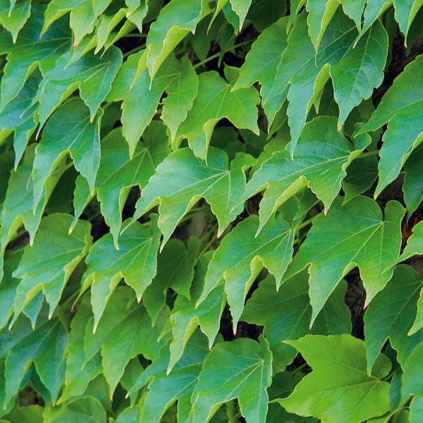 4. Súkromie za zelenou stenou Vzáhrade rýchlo vytvoríte aj intímnejší priestor na nerušené relaxovanie. Stačí si zaobstarať drevené treláže, zabudovať ich na vybrané miesto avysadiť knim popínavé rastliny. Najrýchlejšie plochu zazelenia (ešte vdanom roku) letničky, efekt je však len na jednu sezónu. Toto riešenie nie je finančne náročné, navyše, často ide odruhy kvitnúce počas celého leta. Zďalších rastlín to môžu byť rýchlo rastúce popínavé dreviny – pavinič alebo plamienok.