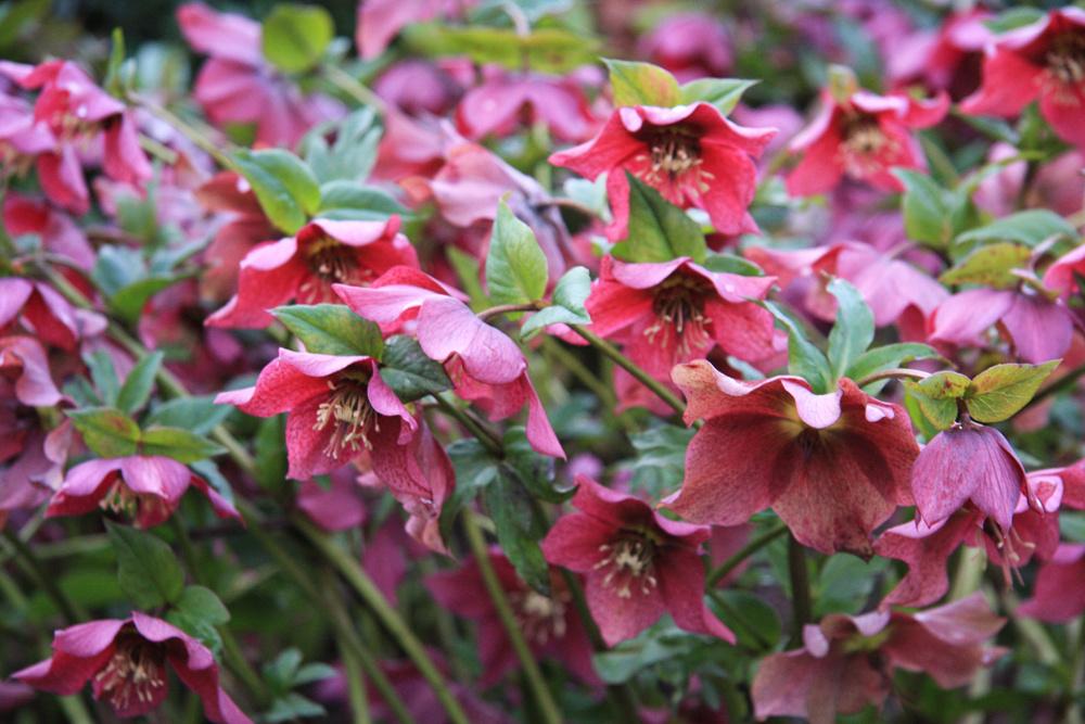 Atraktívny aj vzime  Kvetinový záhon môže byť atraktívny aj počas najchladnejších dní, preto pri jeho plánovaní nezabudnite na trvalky acibuľoviny, ktoré kvitnú ako prvé – už začiatkom roka. Knim patria najmä čemerice (Helleborus niger). Kvitnú od začiatku roka až do jari bielymi alebo fialovoružovými kvetmi, pričom najbohatšie zakvitnú staršie rastliny. Tieto dlhoveké trvalky najlepšie vyniknú na okraji kvetinového záhona avysádzať by sa mali do skupín. Okrem čemeríc môžu vprvých týždňoch roka na záhone zaujať žlto kvitnúce tavolíny (Eranthys hyemalis), snežienky (Galanthus nivalis) či modrofialové krokusy (Crocus tommasinianus), alebo modro aružovo kvitnúce veternice (Anemone blanda).