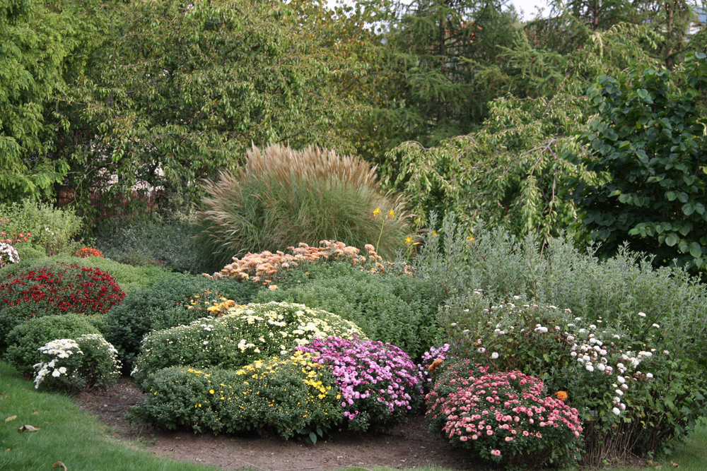 Chryzantémová jeseň  V žiadnom kvetinovom záhone by nemali chýbať ani mrazuvzdorné chryzantémy (Dendranthema), ktoré rozkvitajú ako posledné vroku. Okrem rôzne veľkých, tvarovo rozmanitých a farebných kvetov je pre ne typická aj špecifická aróma. Najčastejšie dorastajú do výšky 80cm, ale vponuke sú aj kompaktne rastúce nižšie kultivary (40 cm). Nižšie druhy vysádzajte na okraj kvetinového záhona, vyššie druhy môžu nájsť svoje miesto v pozadí. Záhonu na jeseň dodajú neopakovateľné farby arozmanité tvary aj niektoré druhy cibuľovín ahľuznatých rastlín. Pôsobivé sú najmä kvitnúce georgíny (vyššie aj nižšie druhy), jesienky a tiež krokosmie (Crocosmia x crosmiiflora).