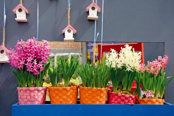 Hyacinty na balkóne Sú pôsobivé nielen na záhonoch, ale aj vnádobách, ktoré si môžete umiestniť na balkóny či terasy. Cibule si môžete vysadiť na jeseň alebo si vtomto období môžete zakúpiť narýchlené rastliny avysadiť ich do pripravených vegetačných nádob, či už samostatne, alebo spolu sinými cibuľovinami. Hyacinty vnášajú na balkón farby avône (balkón by mal byť chránený) aich prednosťou je, že sú na rozdiel od tulipánov či narcisov odolné proti vetru. Podmienkou bohatého kvitnutia je pravidelná zálievka.