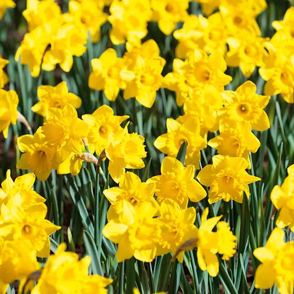 NARCISY PO ODKVITNUTÍ. Narcisové lúky sú najmä na vidieku skutočnou ozdobou jarných záhrad avtýchto dňoch žiaria vplnej kráse. Aby si ju udržali, doprajte im dostatok vlahy. Ak chcete, aby sa aj orok zaskveli vplnej nádhere, ihneď po odkvitnutí odstráňte odkvitnuté kvety, listy však nerežte. Rastlina prostredníctvom nich získava živiny potrebné na budúcoročné kvitnutie. Počkajte, kým listy úplne zoschnú, apotom ich opatrne zozbierajte. Rovnaký postup aplikujte aj pri ostatných druhoch cibuľovín, záplavou kvetov vás odmenia aj na budúci rok.