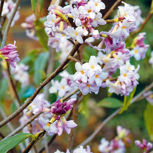 VOŇAVÝ LYKOVEC. Záhradu vtomto období môže rozvoňať kvitnúci lykovec (Daphne). Existuje množstvo krásnych druhov aj kultivarov, nie všetky sa však dajú pestovať vnašich podmienkach. Ideálny je napríklad lykovec jedovatý (Daphne mezereum). Ostatné druhy, napríklad lykovec kaukazský (Daphne caucasica), je možné unás pestovať len vnajteplejších oblastiach. Lykovec potrebuje humusovitú, mierne vlhkú pôdu apolotieň. Nevyhovuje mu sucho apriame slnko. Dobre sa pestuje najmä vpodhorských oblastiach. Rozmnožuje sa rezkovaním alebo semenami.
