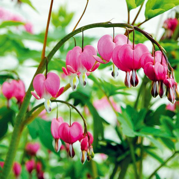 KVITNÚCE TRVALKY VNÁDOBE. Vtomto období si môžete vegetačné nádoby vysadiť aj trvalkami. Zkvitnúcich druhov sú vhodné orlíčky (Aquilegia vulgaris), kosatce (Iris germanica), srdcovky (Dicentra spectabilis), rozchodníky (Sedum spectabile), šalvie (Salvia nemorosa) či astry (Aster alpinus). Znekvitnúcich sa hodia papraďorasty, bergénie afunkie, ktorým vyhovuje polotieň atieň. Nádherné sú aj okrasné trávy. Najlepšie je vysadiť si nádoby rôznymi druhmi tak, aby vnich stále niečo kvitlo. Po vysadení ich dôkladne zalievajte anezabudnite ani na výživný substrát.