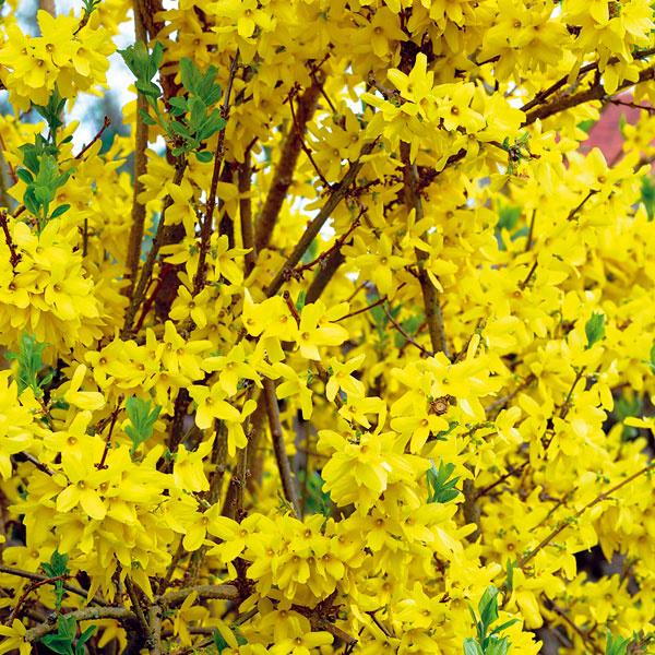 KVITNÚCI ŽIVÝ PLOT. Hodí sa do mestskej aj vidieckej záhrady, pričom sa dá vyskladať tak, aby bol premenlivý apočas sezóny rozkvital rôznymi druhmi kvetov. Na jar to môžu byť zlatovka, okrasná ríbezľa,kéria či orgovány, vlete budlea (Budlea davidii), tavoľník (Spiraea japonica) či ibištek (Hibiscus syriacus). Vhodné sú aj sadové ruže arododendrony, tie však netvarujte. Na tvarovanie sa hodí zlatovka, orgován alebo ibištek. Nezabúdajte, že kvitnúce živé ploty potrebujú oveľa vyšší prísun živín aslnečné miesto (svýnimkou rododendronov).