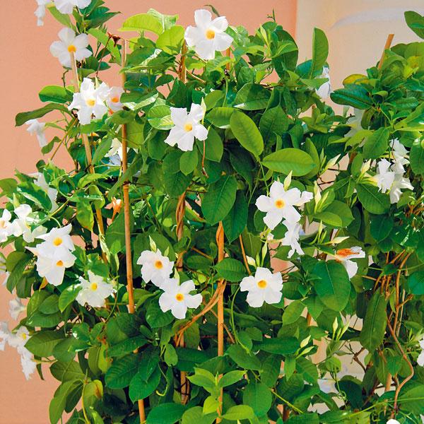 EXOTICKÝ ZÁVAN MANDEVILLY. Mandevilla (Mandevilla sanderi), jedna znajkrajších popínavých kvitnúcich rastlín, sa unás vostatných rokoch stala hitom. Pozornosť púta oválnymi lesklými listami na dlhých výhonoch anápadnými lievikovitými kvetmi sýtych farieb. Unás sa dá vonku pestovať iba vlete, ato len vo väčšej nádobe. Nevyhnutný je substrát na balkónové rastliny, slnečné, prípadne polotienisté miesto adostatok vlahy. Ak má dostatok slnka apravidelný prísun živín (raz týždenne), bohato kvitne až do neskorej jesene.