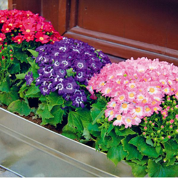 VIDIECKE PARÁDNICE. Cinerárie (Cineraria cruentus) boli obľúbenými kvitnúcimi rastlinami našich starých mám, teraz sa ich popularita vracia. Ide opekne kvitnúce, farebne rozmanité kríkovité rastliny, ktoré kvitnú od skorej jari do začiatku leta. Vyhovuje im dostatok svetla askôr chlad. Potrebujú vyššiu vzdušnú aj pôdnu vlhkosť. Ak sa rastlina pestuje vinteriéri, oplatí sa preto rosiť listy, respektíve zvyšovať vzdušnú vlhkosť vich okolí. Treba však dať pozor na premočenie substrátu, pretože môže spôsobiť uhynutie rastliny.