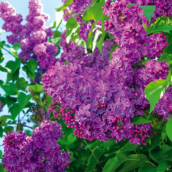 ORGOVÁN NA BALKÓNE. Znie to možno neuveriteľne, no aj na balkóne sa môžete tešiť zvoňavých kvetov orgovánu (Syringa vulgaris). Vtomto období si môžete zakúpiť kvitnúce jedince avysadiť ich do humózneho substrátu. Saďte ich do priestrannej nádoby sodtokovým otvorom na dne. Voľte vrúbľovaný aveľkokvetý kultivar, ktorý neodnožuje. Orgován pravidelne zavlažujte apo odkvitnutí mu vylomte suché kvety. Vyplatí sa ho aj tvarovať alebo len priebežne rezať, vďaka čomu sa pekne rozkošatí abude každoročne bohatšie kvitnúť.