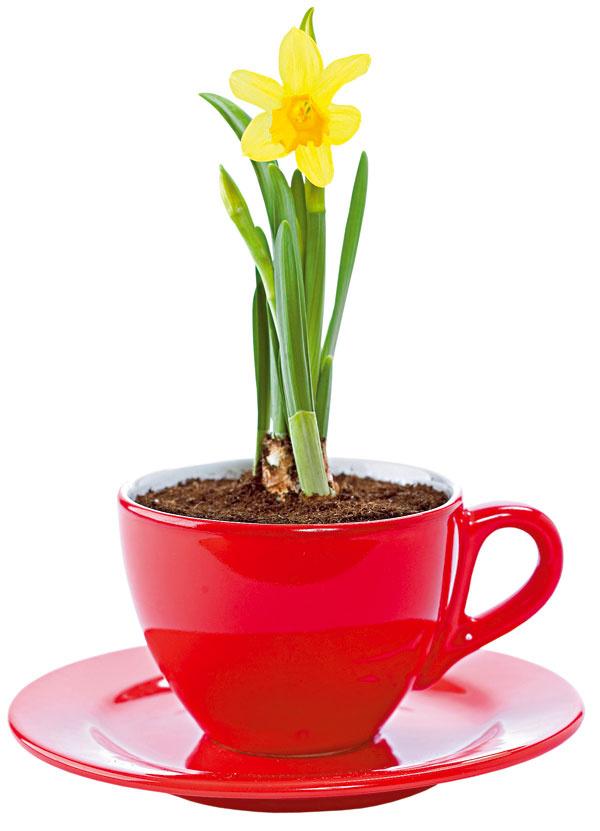 Šup sním do šálky! Narýchlené narcisy vyniknú aj vo farebne výraznej šálke. Výhodou je, že po odkvitnutí si ich môžete presadiť do záhrady.