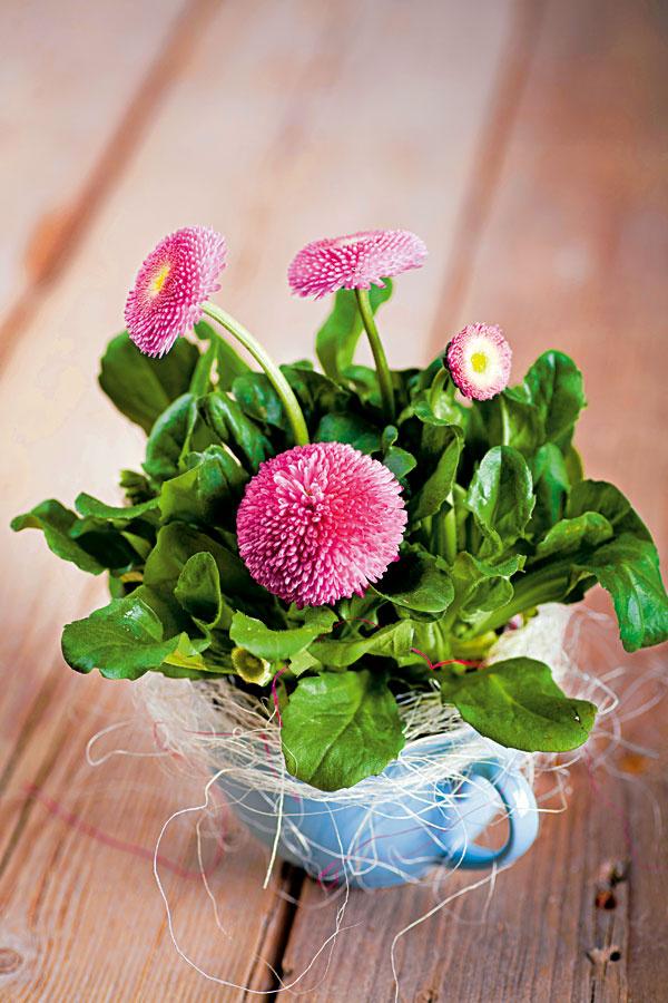 Sedmokrásky patria knajkrajším jarným kvetom. Aby ich pôvab vynikol, potrebujú dostatok slnka a pravidelný prísun vlahy.