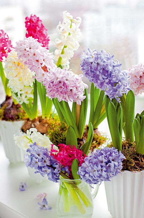 Rozvoňajú byt Hyacinty vnesú skoro na jar do interiéru hravú farebnosť, anajmä nádherné vône. Dopriať im treba čerstvý vzduch, vlahu askôr chladnejšiu miestnosť. Nádherné sú na okenných parapetoch.