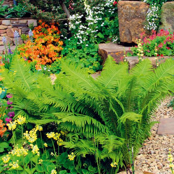 Papraďorasty sa skvelo hodia do záhrad prírodnejšieho charakteru, apreto boli vtomto prípade dobrou voľbou. Najlepšie vyniknú vpolotieni atieni, potrebujú vlhko a humóznu pôdu. Dobre sa kombinujú sdrevom, kameňmi alesnými trvalkami.