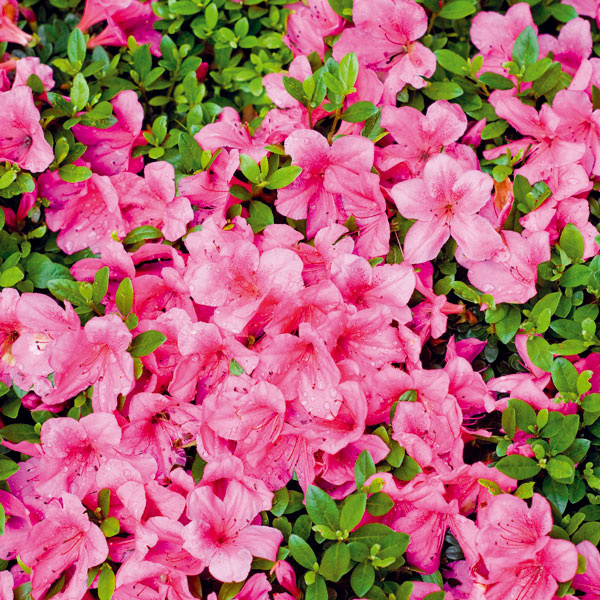NEPREKONATEĽNÉ AZALKY. Azalky vnášajú do záhrady hravosť. Nádherné sú najmä opadavé druhy (hybridy Knapp-Hill), ktorých kvety žiaria intenzívnymi farbami. Pekné sú aj nižšie japonské azalky smenšími kvetmi (vyniknú vpredzáhradkách avskalkách). Vyššie druhy je, naopak, lepšie vysádzať do skupín srododendronmi či kompaktnejšími ihličnanmi pred pozadie ztmavších ihličnanov. Vtomto období ich môžete aj vysádzať, keďže vpredaji je ich najširšia ponuka. Dbajte na to, aby bola výsadbová jama dvakrát väčšia ako koreňový bal, adoprajte im kyslejší substrát.