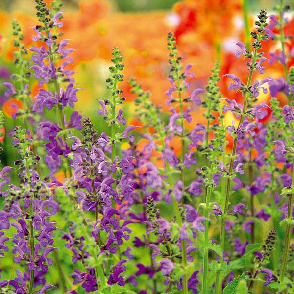 BYLINKY UPROSTRED KVETÍN. Vkvetinových záhonoch nádherne vyzerajú aj bylinky, ktoré ho nielen zatraktívnia, ale aj prevoňajú adajú sa použiť aj na prípravu liečivých čajov. Vhodný je pamajorán, ktorý má krásne súkvetia adlho kvitne, alebo šalvia, ktorá okrem nádherne modrých kvetov ponúka aj rozmanité kultivary spekne vyfarbenými listami. Šalvia dobre vynikne napríklad spolu skvitnúcim oranžovým kuklíkom. Bylinkám vyhovuje slnečné miesto spriepustnou pôdou, nebude sa im dariť vtieni. Nezabudnite ich vhodne umiestniť na dobre viditeľné miesto vpopredí záhonu.