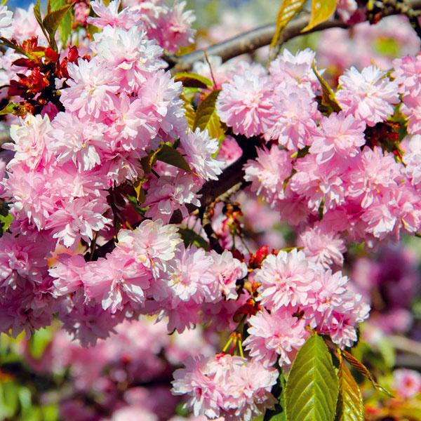EFEKTNÁ SAKURA. Knajkrajším okrasným stromom patria sakury (Prunus serrulata), ktoré sa skoreňovým balom dajú vysadiť aj vtomto období. Sakura potrebuje dostatok priestoru avynikne na kvalitne udržiavanom trávniku. Má efektné pílkovité listy aprekrásne kvety. Najkrajšia je včase kvitnutia, keď ju zahalí záplava najčastejšie ružových kvetov, ana jeseň, keď sa listy sfarbujú do oranžových ažltých odtieňov. Existuje množstvo krásnych kultivarov (vzájomne sa líšia tvarom koruny). Aby bohato kvitli, potrebujú výdatnú závlahu anevyhnutné je aj slnečné miesto.