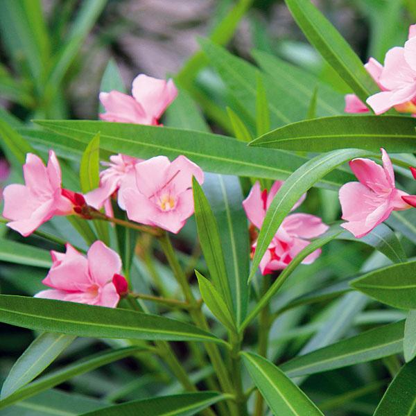 ČO POTREBUJE OLEANDER. Aby bohato kvitol anetrpel chorobami, je dôležité vybrať mu vhodné miesto – slnečné, chránené pred vetrom, najlepšie na južnej strane domu. Nevyhnutná je výdatná zálievka. Ak ju nemá, menej kvitne ažltnú mu listy. Predpokladom bohatého kvitnutia je aj prihnojovanie hnojivom na kvitnúce rastliny (raz za dva až tri týždne). Nezabúdajte ani na presvetľovací rez, ktorý sa robí raz za dva roky (na jar alebo začiatkom jesene) aodstraňujú sa staršie výhonky. Rastlina sa nesmie radikálne skrátiť, pretože by sme ju pripravili okvety.
