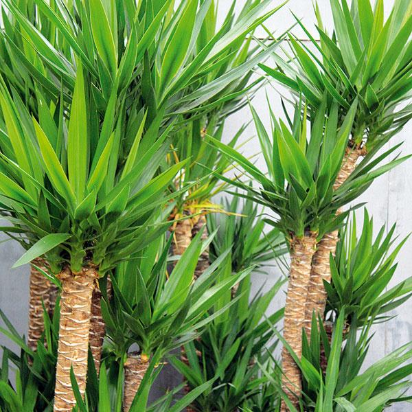 STAROSTLIVOSŤ OJUKU. Juka (Yucca elephantipes) patrí medzi obľúbené izbové rastliny najmä vmoderných bytoch. Často však rýchlo chradne anezriedka aj hynie. Dôvodom je nevhodne zvolené miesto aspôsob pestovania. Juka potrebuje svetlo (ak je to možné, zo všetkých strán), neznáša sucho asuchý vzduch. Vlete ju výdatne zalievajte, vzime menej. Počas vegetačného obdobia pridávajte do zálievkovej vody hnojivo na izbové rastliny. Listy juky systematicky zbavujte prachu aasi každé štyri roky vymeňte vrchnú časť zeminy včrepníku za novú.