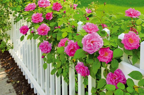 Kam ruže určite nepatria  Ak sú ruže vhodne umiestnené, krásne kvitnú, sú dlhoveké anetrpia chorobami ani škodcami. Veľakrát sa však tieto nádherné dreviny vysádzajú aj na miesta, kde nebudú mať ideálne podmienky aich existencia pravdepodobne nebude dlhá. Takými sú napríklad štrkovitá pôda (vhodnejšia je humózna amierne vlhká priepustná), miesta snie najlepšími svetelnými pomermi (polotieň alebo tieň), blízkosť mohutnejších drevín, ktoré im odčerpávajú vlahu aj živiny, alebo miesta, kde sa pohybujú psy. Nevhodné sú aj zamokrené pôdy, veterné miesta alebo tmavšie rohy akúty. Ruže si zaslúžia slnečný areprezentatívny záhon skvalitnou pôdou, prípadne ich môžete zakomponovať do zmiešaného kvetinového záhona.