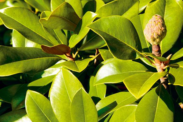 Exotické rastliny – trend aj riziko  Vostatnom čase náš trh zaplavili vizuálne atraktívne exotické rastliny známe zoblasti Stredomoria. Väčšinou nie sú najlacnejšie aobchodníci lákajú na ich netradičný vzhľad, krásne kvety azaručenú mrazuvzdornosť. Ak uvažujete okúpe exotickej rastliny, mali by ste vedieť, že mnohé znich si vyžadujú špeciálne podmienky adôkladné zazimovanie, čo však na dobrý stav rastliny nemusí stačiť. Preto je potrebné kúpu exotickej zelene vždy dobre zvážiť. Ideálne sú nižšie položené achránené lokality – vyššia nadmorská výška je pre ne nevhodná. Vponuke však nájdete aj druhy, ktoré naše podmienky dokážu zvládnuť bez väčších problémov – rôzne mrazuvzdorných kaktusy aniektoré palmy.