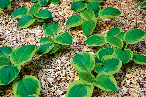 Užitočné mulčovanie. Ak ste tak ešte neurobili, koncom jari je dôležité myslieť na posledné úpravy záhonov. Dôležité je nielen precízne zarovnanie (ak susedia s trávnikom), ale aj mulčovanie. To pomôže zadržať v pôde viac vlahy, obmedziť rast buriny a v neposlednom rade podporiť fungovanie užitočných mikroorganizmov. Najmä medzi novovysadené rastliny, či už trvalky, alebo dreviny, je dobré nasypať hrubšiu vrstvu – nebudete ich musieť tak často zalievať. Na mulčovanie je najlepšie použiť drevnú štiepku alebo drvenú kôru, pričom výška mulču by mala byť aspoň 5 cm.