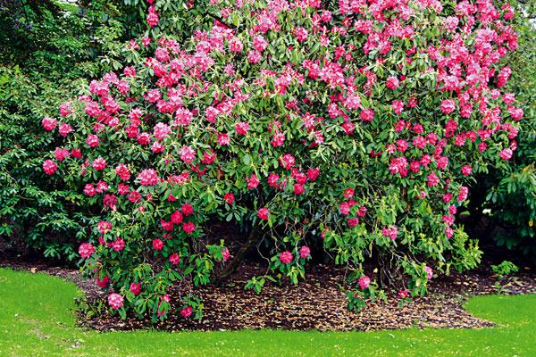 Očista pre rododendrony. Aby sa rododendrony zaskveli v plnej nádhere aj v ďalšom roku, nepodceňte starostlivosť o ne ani po odkvitnutí. Vylomte odkvitnuté súkvetia, ktoré by ich zbytočne vysiľovali. Doprajte im aj dávku živín – ideálne sú špeciálne hnojivá pre kyslomilné rastliny s vyšším obsahom rohoviny. Povrch záhona s rododendronmi namulčujte drvenou kôrou. V pôde sa tak udrží vlhkosť, ktorá je pre tieto vždyzelené dreviny dôležitá, a eliminuje sa aj množstvo buriny. V tomto období si ešte stále môžete vysadiť aj nové jedince (vždy s koreňovým balom).