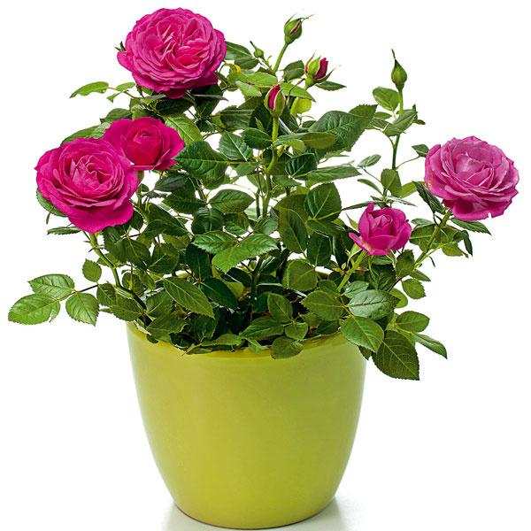 Ruže v nádobe. Počas júna si môžete do vegetačných nádob vysadiť miniatúrne ruže. Vďaka svojim menším rozmerom a drobným kvetom sú ideálnou voľbou aj na malé balkóny či terasy. Obvykle ide o dlhokvitnúce a pestovateľsky nenáročné dreviny, vhodné aj pre pestovateľov začiatočníkov. Po kúpe je potrebné ruže vybaliť z obalov, vysadiť do kyprého a priepustného substrátu a pravidelne zavlažovať. Substrát s miniatúrnymi ružami by mal byť vždy mierne vlhký. Bohatšie kvitnutie podporí aj prihnojovanie hnojivom určeným na ruže a takisto odstraňovanie odkvitnutých kvetov.